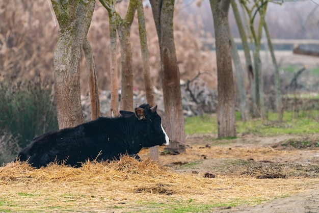 Black cow resting in the hay