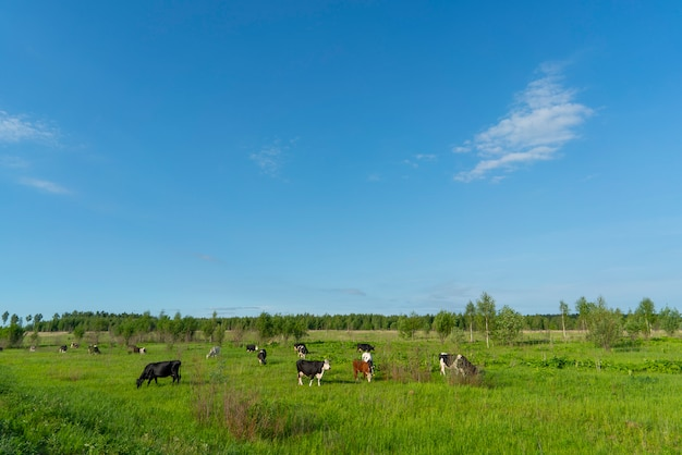 Black cows graze on a green field on a summer day.