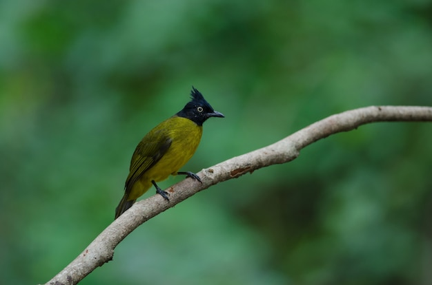 Black-crested bulbul  bird in nature perching on a branch