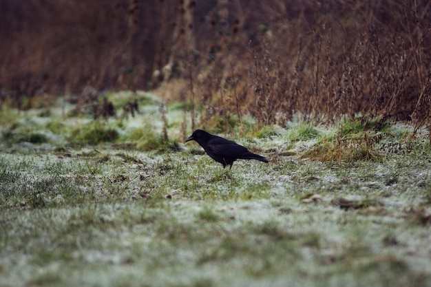 ロンドンの凍った草の牧草地の黒いカラス