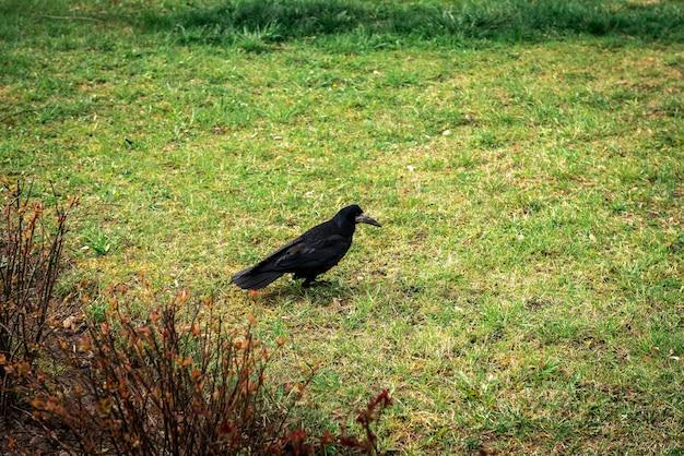 Черная ворона на траве в парке.