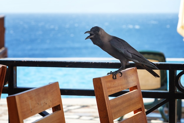 Black crow sits on the back of a chair