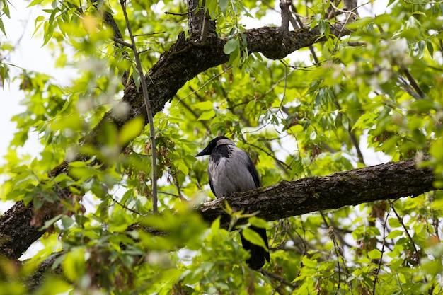 Черная ворона сидит на ветвях деревьев с зеленой листвой