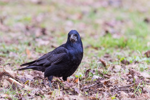 Black crow standing on the ground full of grass and leaves