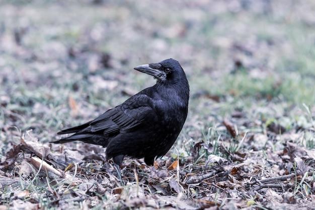 Черная ворона стоит на земле, полной травы и листьев