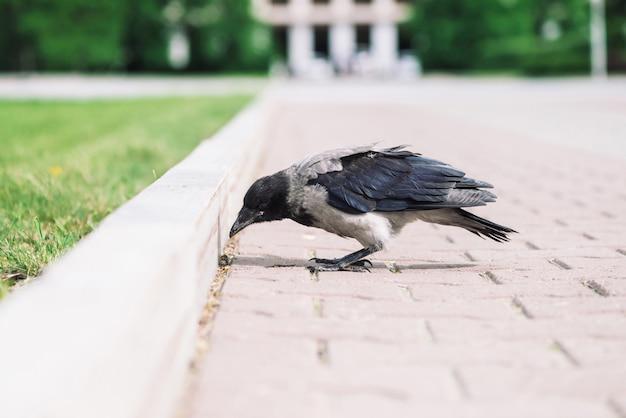 Black crow walks on border near gray sidewalk on  green grass with copyspace. raven on pavement. wild bird on asphalt. predatory animal of city fauna. plumage of bird is close up.