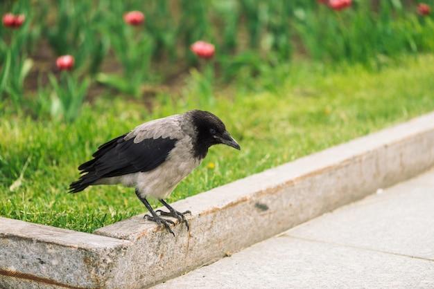 Black crow walks on border near gray sidewalk on green grass