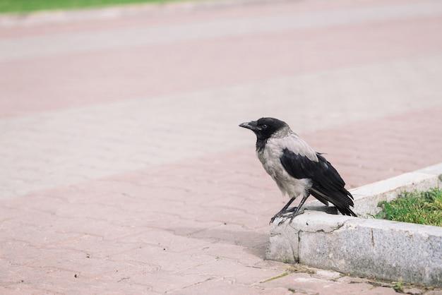 Black crow walks on border near gray sidewalk