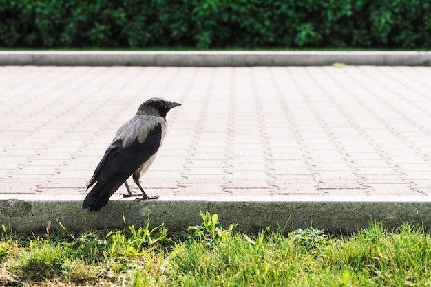 Black crow walks on border near gray sidewalk