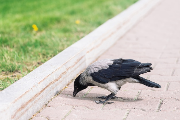 Black crow walks on gray sidewalk near border
