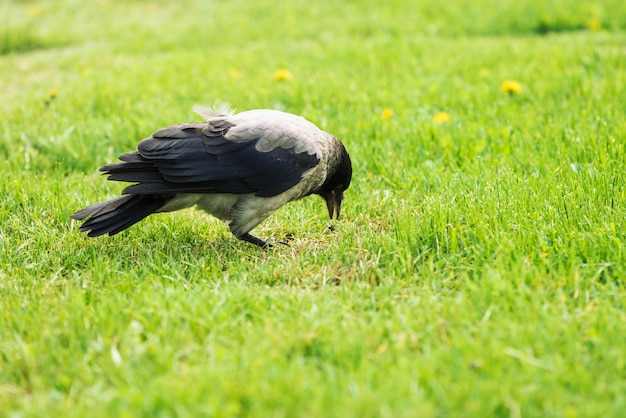 Black crow walks on green lawn with copy space.