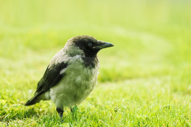 Black crow walks on green lawn with copyspace. raven on grass. wild bird on meadow. predatory animal of city fauna. plumage of bird is close up. detailed background of body of animal.