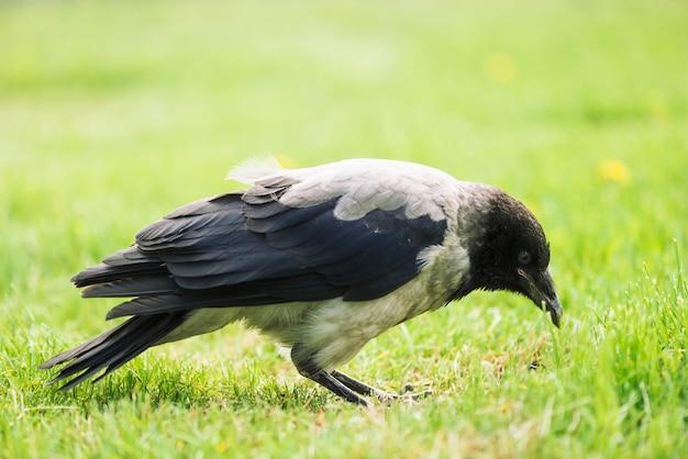 Black crow walks on green lawn