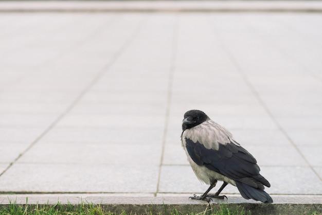 黒いカラスは、コピースペースを持つ緑の草の背景に灰色の歩道近くの境界線を歩きます。舗装上のレイヴン。アスファルトの上の野鳥の階段をクローズアップ。都市動物の捕食動物。
