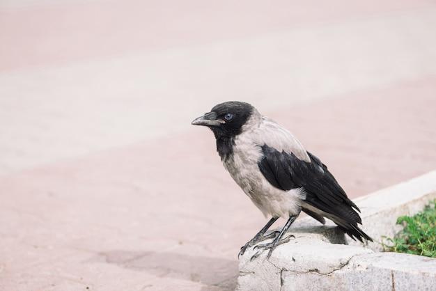 黒いカラスは、コピースペースを持つ緑の草の背景に灰色の歩道近くの境界線を歩きます。舗装上のレイヴン。アスファルトの野鳥。都市動物の捕食動物。鳥の羽が間近です。