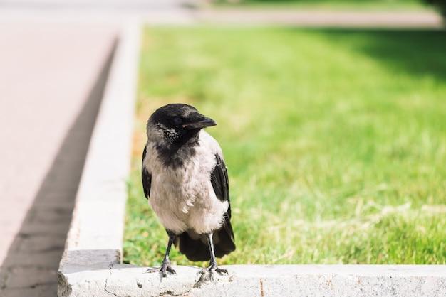 黒いカラスは、コピースペースを持つ緑の芝生の上の灰色の歩道の近くの境界線を歩きます。舗装上のレイヴン。アスファルトの野鳥。都市動物の捕食動物。鳥の羽が間近です。