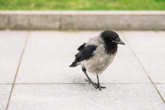黒いカラスは、コピースペースと緑の芝生の境界線の近くの灰色の歩道を歩きます。舗装上のレイヴン。アスファルトの上の野鳥の階段をクローズアップ。都市動物の捕食動物。