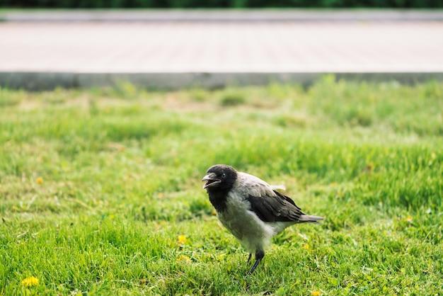 Черная ворона гуляет по зеленой лужайке на фоне тротуара с копией пространства.