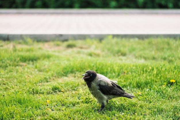 黒いカラスはコピースペースと舗装の緑の芝生の上を歩きます。草の上のワタリガラス。草原の野鳥。都市動物の捕食動物。鳥の羽が間近です。