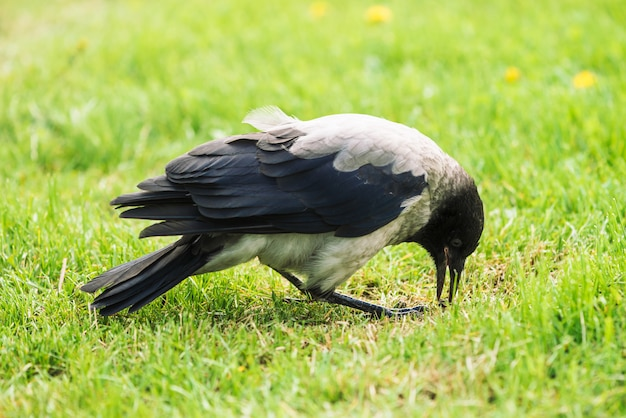 黒いカラスはコピースペースを持つ緑の芝生の上を歩きます。草の上のワタリガラス。草原の野鳥。都市動物の捕食動物。鳥の羽が間近です。