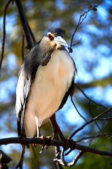 Black crown night heron sitting on a tree branch against a blue sky