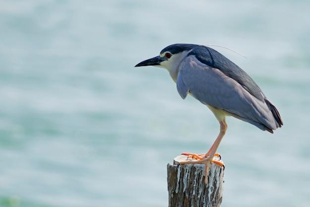 Black-crowned night-heron, birds in thailand