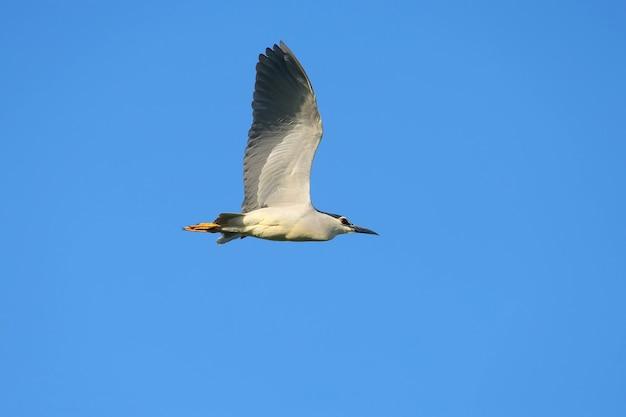 푸른 하늘을 배경으로 비행 중에 검은 왕관 밤 헤론 (nycticorax nycticorax)