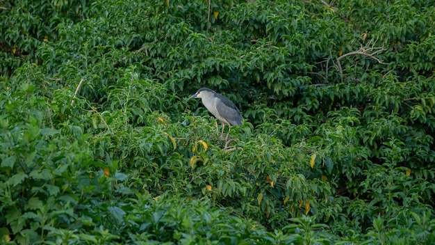 Black crowned night heron of the species nycticorax nycticorax