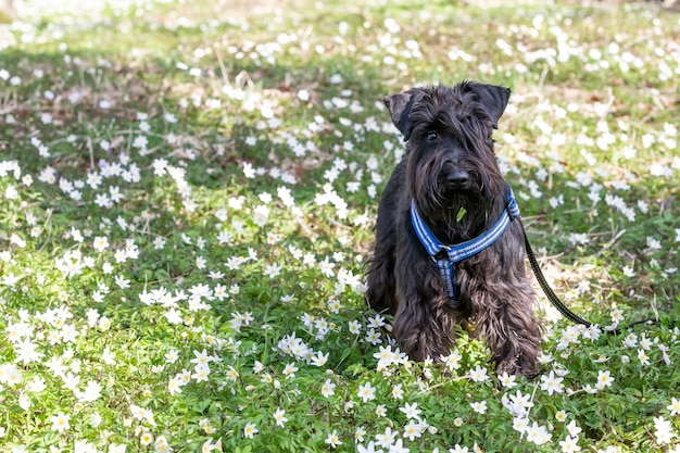 Black cute miniature schnauzer in a park