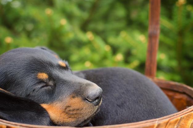 眠っている黒いダックスフントの子犬