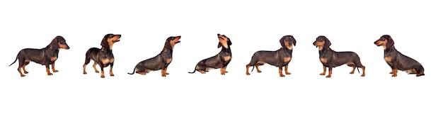 白い背景の上の黒いダックスフントソーセージ犬の子犬