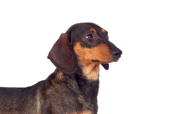 Black dachshund sausage dog puppy on a white background