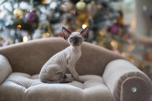 青い目をした黒いデボンレックスの子猫がソファに座っています