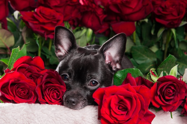 Black dog chihuahua looking at camera with red rose background