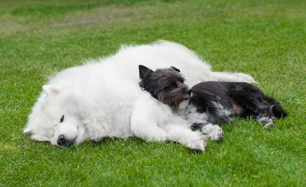 緑の芝生の上の白いアラスカンマラミュートに横たわっている黒い犬