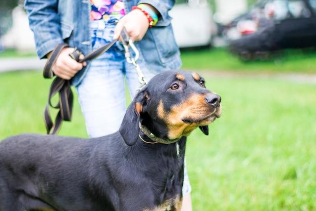 飼い主との散歩中にひもにつないでいるウクライナの猟犬の品種の黒い犬_