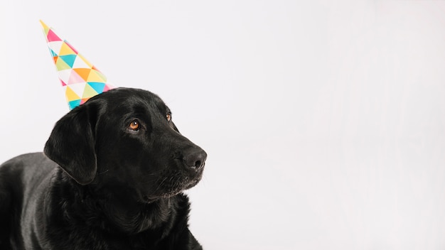 Black dog in party hat