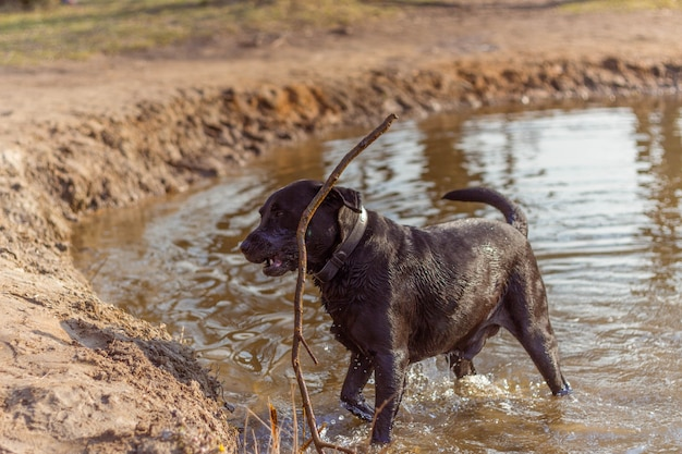 Черная собака играет в воде с палкой дерева на берегу озера в лучах солнца весной