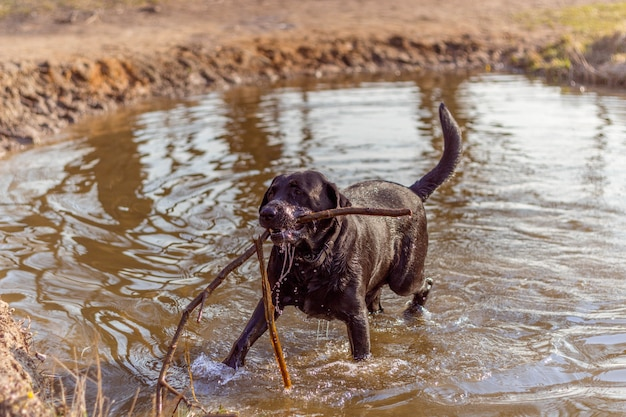 Black dog playing in the water with a tree stick on the shore of the lake in the rays of the sun in spring