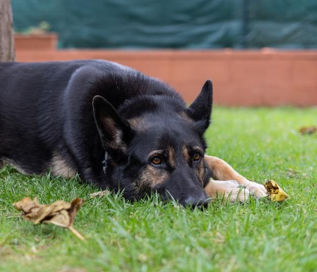 Black dog resting on the grass