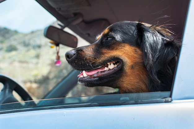 Black dog that sticks his head out the window of the car.