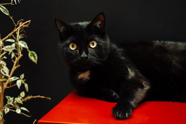Черная домашняя кошка на фоне черной стены смотрит в камеру