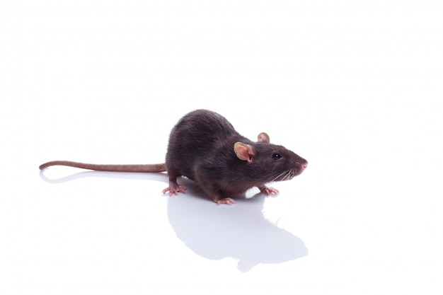 Black domestic dumbo pet rat isolated on white