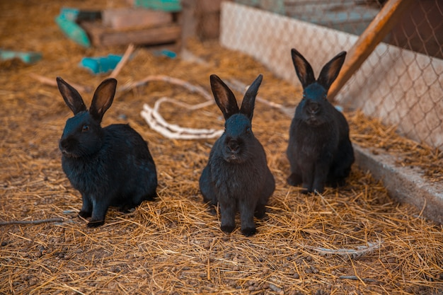 Conigli domestici neri nel terreno coltivabile in autunno