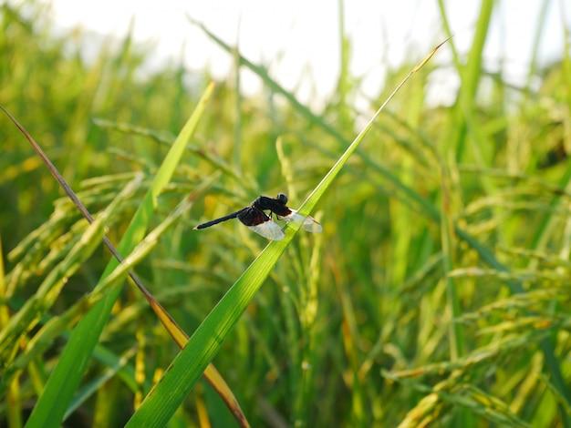 自然、緑の野原の背景に黒いトンボ
