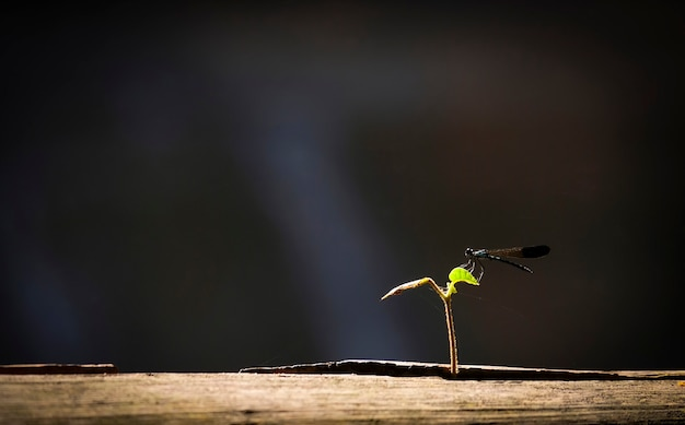 Black dragonfly on little plant growing on wood with sunlight and black background /