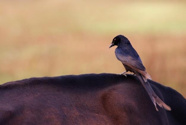 Черный дронго сидит на корове