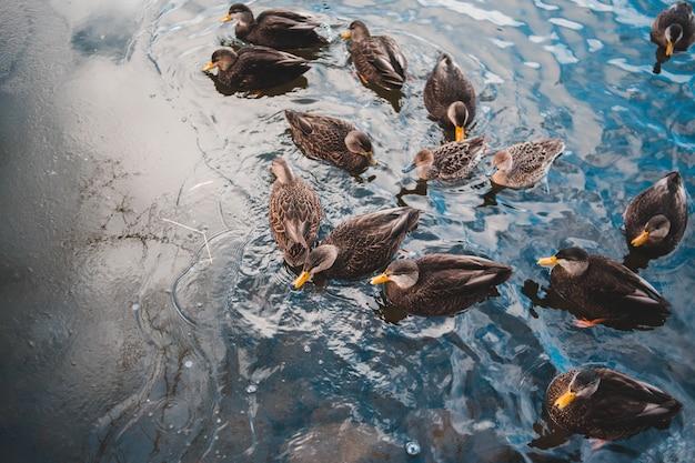 Black duckson calm body of water