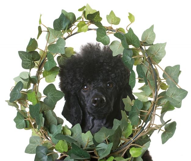 Black dwarf poodle