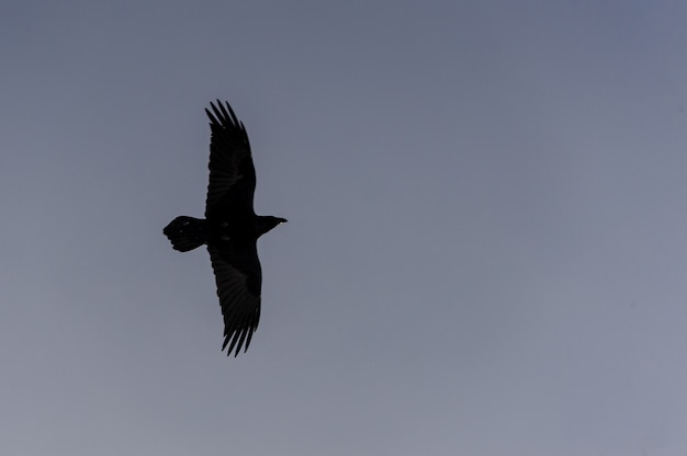 Black eagle flying alone in the sky